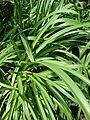 Starr 080117-1942 Agapanthus praecox subsp. orientalis.jpg