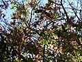 Starr 080304-3177 Syzygium jambos.jpg