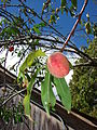 Starr 080317-3639 Prunus persica.jpg