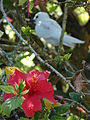Starr 080601-5160 Hibiscus rosa-sinensis.jpg