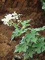 Starr 081230-0670 Montanoa hibiscifolia.jpg