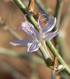 Stephanomeria pauciflora 8.jpg