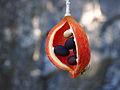 Sterculia quadrifida fruit.jpg