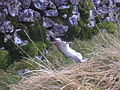 Stoat with rabbit - geograph.org.uk - 113450.jpg