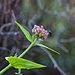 Stomorhina lunata on Centranthus ruber.jpg