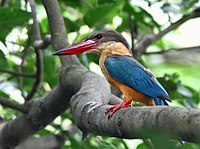 Stork-billed Kingfisher I IMG 7407