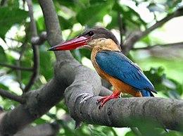 Stork-billed Kingfisher I IMG 7407