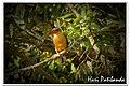 Stork Billed Kingfisher (3180010352).jpg