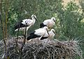 Stork family - panoramio.jpg