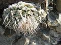 Strombocactus disciformis (5780677182).jpg