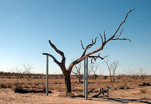 Sturt tree1