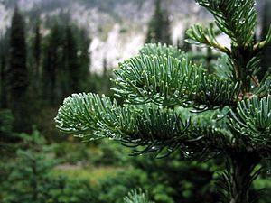 Cascades (ecoregion) - Image: Subalpine Fir 3320