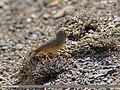 Sulphur-bellied Warbler (Phylloscopus griseolus) (27137712934).jpg