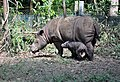 Sumatran rhinoceros and juvenile.jpg