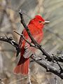 Summer Tanager.jpg