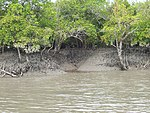 Mangroves on a riverbank.
