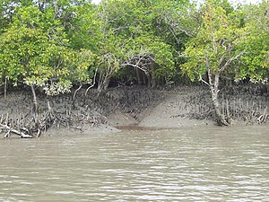 Sundarbans National Park - Mangrove trees in Sundarban and a small creek going inside the forest