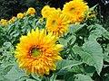 Sunflowers Tohoku Yae (289671611).jpg