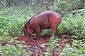 Sus scrofa - Wild boar during Periyar butterfly survey at Sabarimala, 2014 (34).jpg