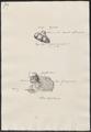 Sus scrofa domestica - geslachtsorganen - 1700-1880 - Print - Iconographia Zoologica - Special Collections University of Amsterdam - UBA01 IZ21900177.tif
