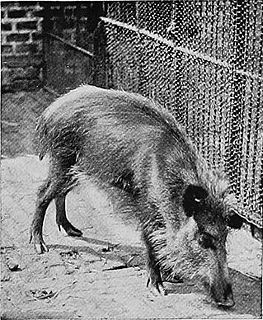 Javan warty pig species of mammal