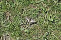 Swallowtail - Papilio machaon (14240491063).jpg