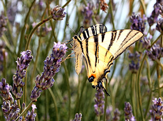 Swallowtail butterfly - Scarce swallowtail butterfly (Iphiclides podalirius) on lavender flowers, near Adriatic coast