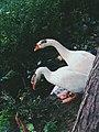 Swan near pond.jpg