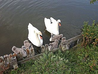 Nakskov Fjord - Swans with their ducklings in Nakskov Indrefjord