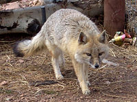 Swift Fox Colorado Wolf and Wildlife cropped.jpg