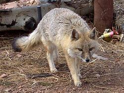 Swift Fox Colorado Wolf and Wildlife cropped.jpg