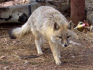 Swift fox Species of mammal