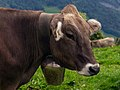 Swiss mountain cow with cowbell.jpg