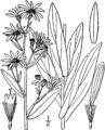 Symphyotrichum laeve laeve.png