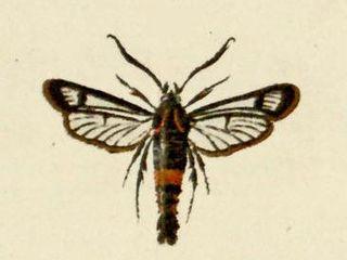 <i>Synanthedon stomoxiformis</i> Species of moth