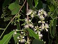 Syzygium cumini flowers.JPG