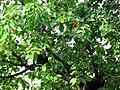 Třešně.jpg