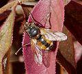 Tachina fera - Flickr - gailhampshire (1).jpg