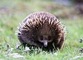 Tachyglossus aculeatus front on.jpg