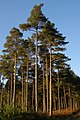 Tall pines in Highland Water Inclosure, New Forest - geograph.org.uk - 602631.jpg