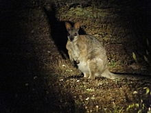 Dama Wallaby Pet