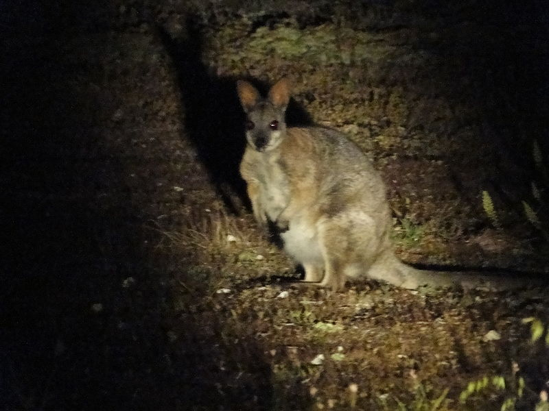 File:Tammar wallaby Innes.JPG