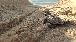 Hawksbill sea turtle - Hawksbill baby turtle in Paulista, Pernambuco, Brazil