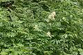 Tatry – Parzydło leśne (Aruncus sylvestris) w drodze na Morskie Oko.jpg