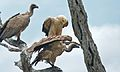 Tawny Eagle (Aquila rapax) and White-backed Vultures (Gyps africanus) (6001455023).jpg