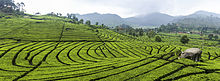 Tea Plantations in Ciwidey