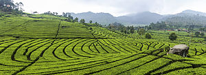 Plantation - A tea plantation in Ciwidey, Bandung in Indonesia