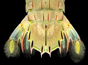 Oratosquilla oratoria - Image: Teloson and Uropods of Oratosquilla oratoria