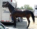Tennessee Walking Horse3.jpg