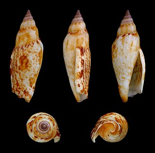 <i>Terestrombus terebellatus</i> species of mollusc